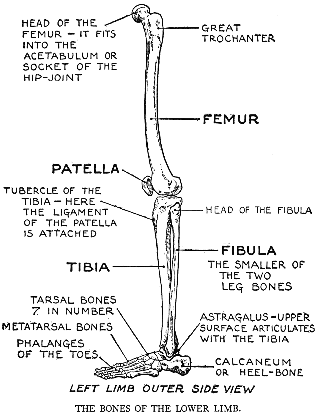 000099 png : upper leg bones diagram - findchart.co