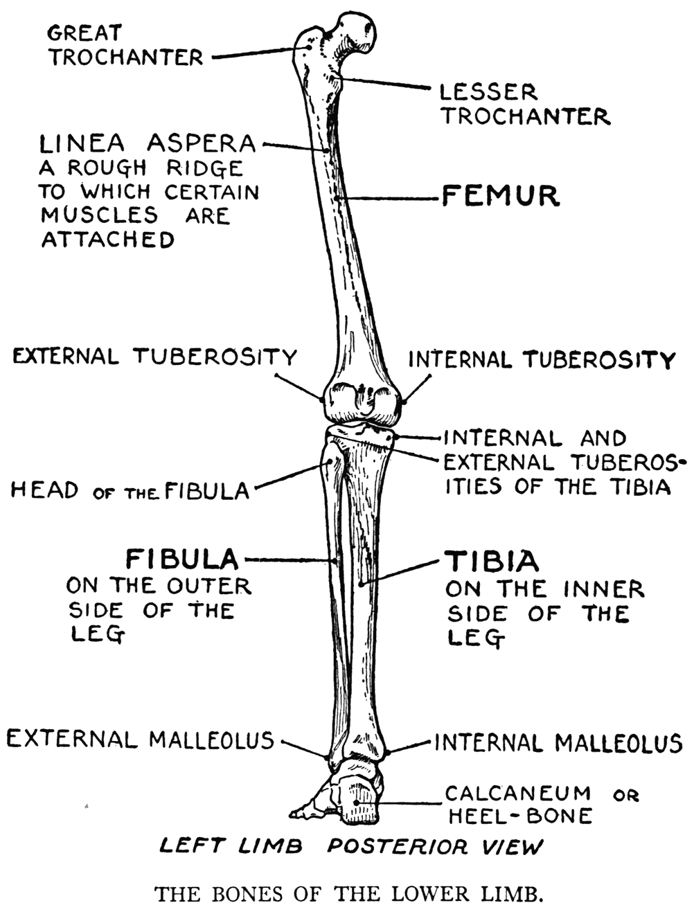 000104 png : leg bones names diagram - findchart.co