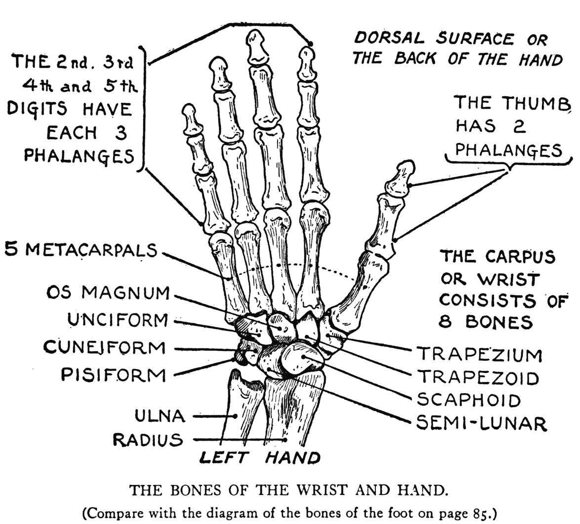 Practical Art Anatomy - E  G  Lutz